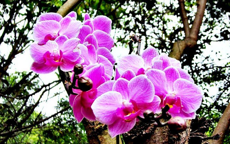 орхидея обитающая на деревьях
