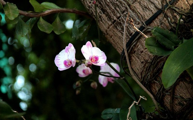орхидея растущая на дереве