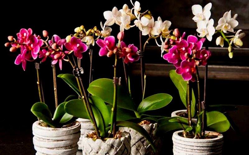 уход за комнатной орхидеей