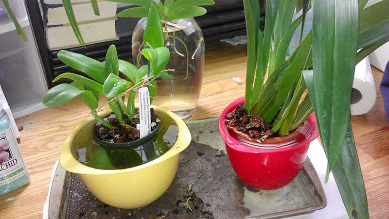 частичное погружение орхидей