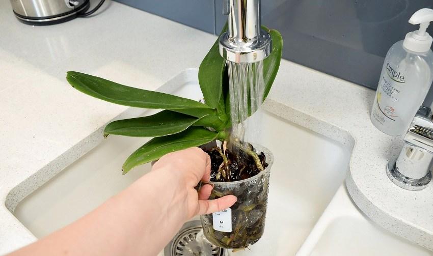 полив водой орхидей