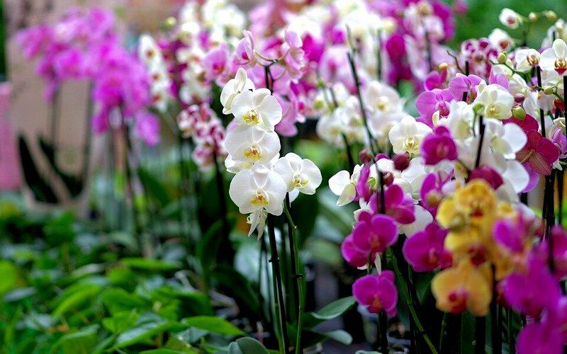 наземная орхидея