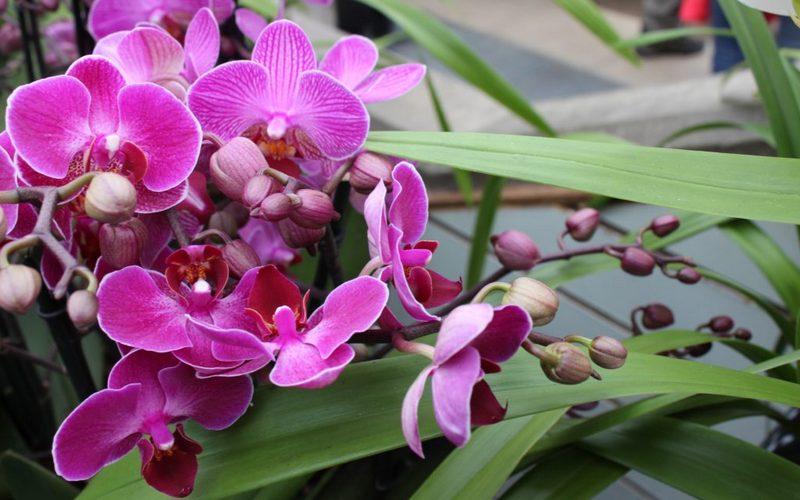 красивая наземная орхидея