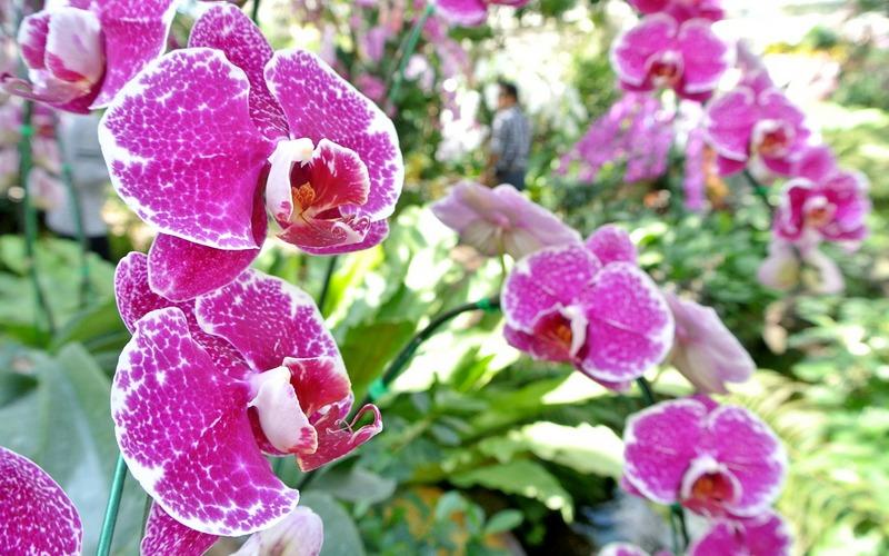 орхидея наземная
