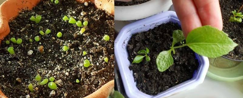размножение шеффлеры семенами