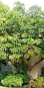 дерево шеффлера