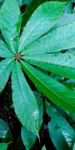 растение пальчатая шеффлера