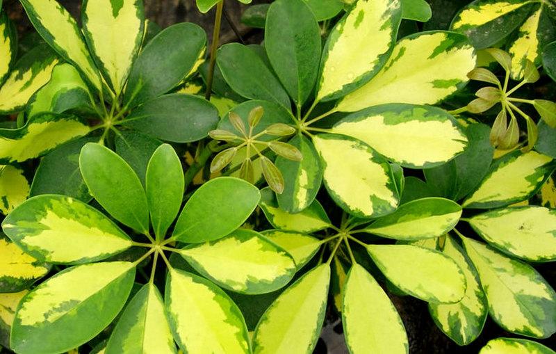 шеффлера octophylla