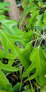 шеффлера actinophylla
