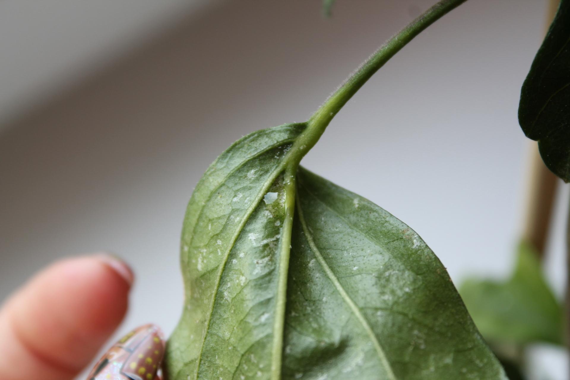 больные листья гибискуса
