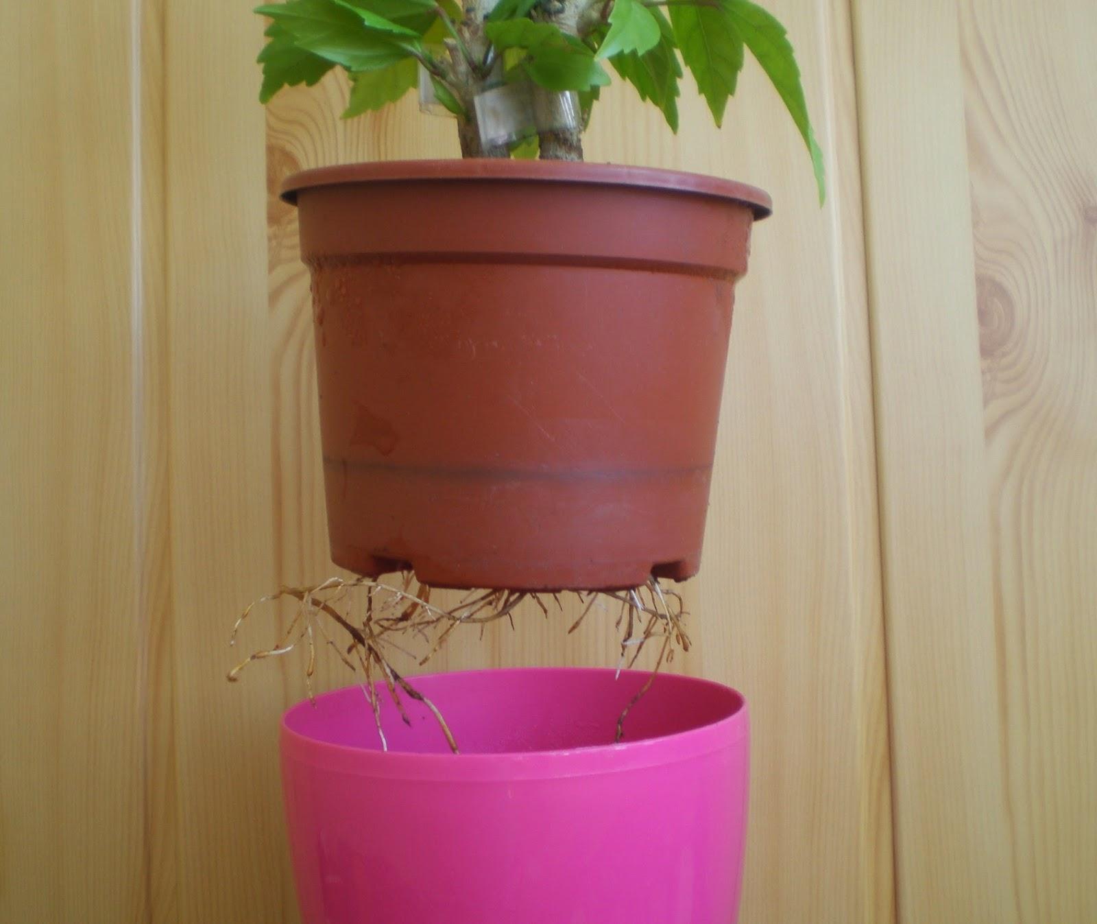 когда корни вылезли гибискус нужно пересаживать