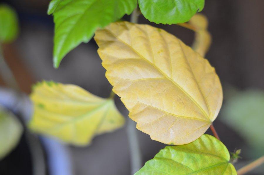 хлороз листьев гибискуса